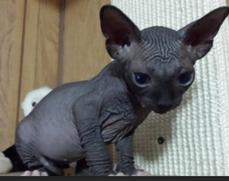 Jonesy, the Sphynx (Hairless) Cat